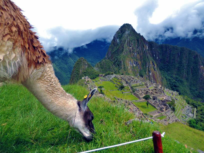 Machu Picchu Llama Polly_Allen