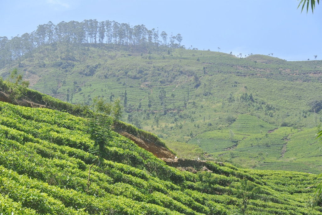 tea country view 1