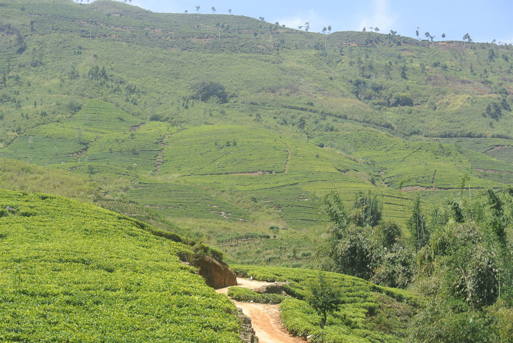 tea country view 2