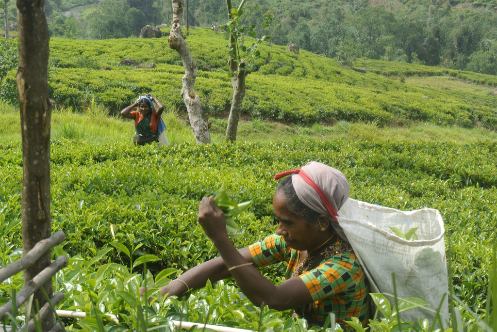 tea picker in action